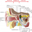 Anatomy of the human ear. Poster - Stok Vektr