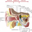 Anatomy of the human ear. Poster - 