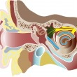 Vector illustration of human ear. Section - Stock vektor