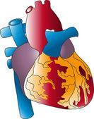 Human heart — Stock Vector
