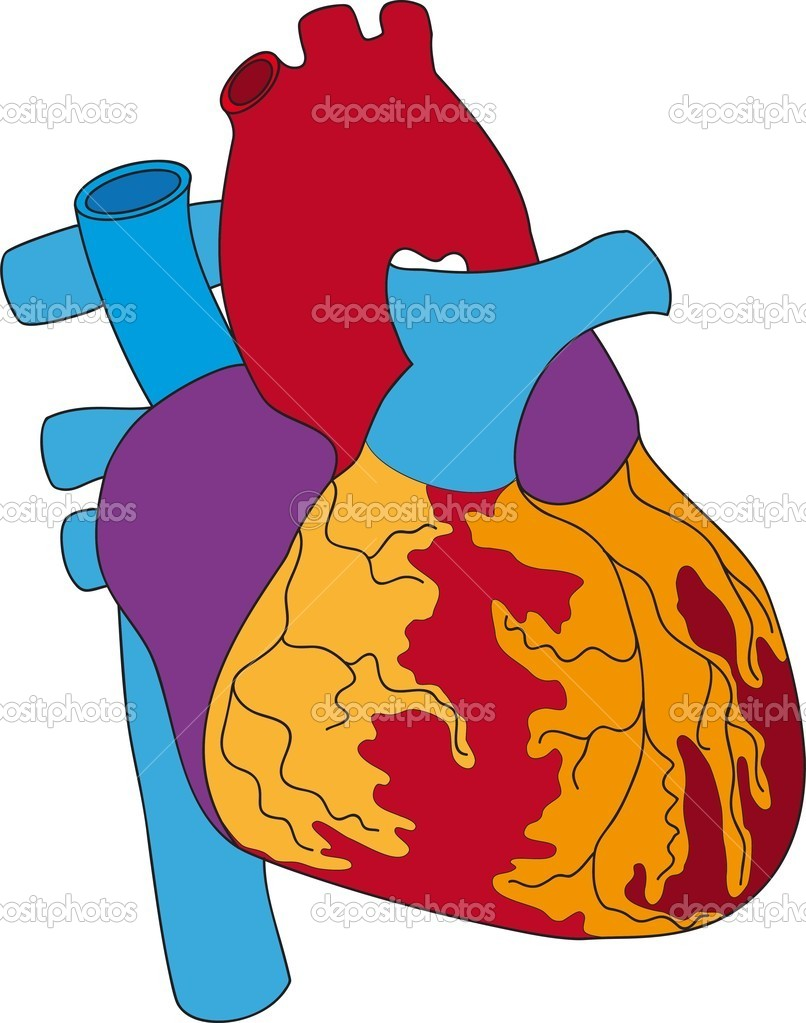 The Illustration of the human heart — Stock Vector #7163040
