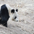 Giant panda seeking in winter — Stock Photo