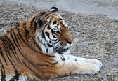 Northeast Tiger (Siberian Tiger) laying on the grass — Stock Photo