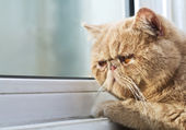 CPA cat looking out through a window — Stock Photo