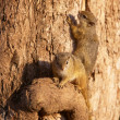 Tree squirrel (Paraxerus cepapi) — Stock Photo