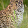 Leopard sitting in the grass — Stock fotografie