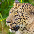Leopard sitting in the grass — Stockfoto