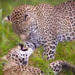 Постер, плакат: Two leopard playing in savannah