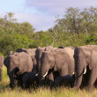 Large herd of elephants — 图库照片