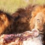 Three Lions (panthera leo) in savannah — Stock Photo