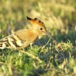 African Hoopoe — Stock Photo