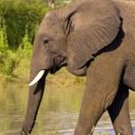 Large elephant bull — Stock Photo #6941197