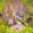 Постер, плакат: Two Leopards playing in savannah