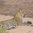 Leopard resting on sand — Stock Photo