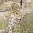 Stock Photo: Leopard in the nature reserve