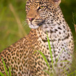 Leopard sitting in savannah — Stock Photo