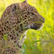Leopard rusten in savannah — Stockfoto