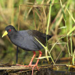Black Crake Limnocorax flavirostra — Stock Photo