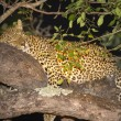 Stock Photo: Leopard in tree