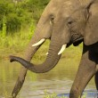 Two large elephants — Stock Photo