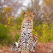 Leopard sitting in savannah — Stockfoto