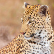 Leopard (Panthera pardus) sitting in savannah — Stock Photo