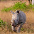 Stock Photo: Baby calf white rhinoceros
