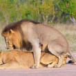 Royalty-Free Stock Photo: Lions (panthera leo) mating in the wild