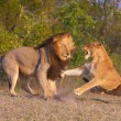 Stock Photo: Lion (pantherleo) and lioness fighting