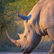 Large white rhinoceros — Stock Photo