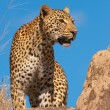 Stock Photo: Leopard standing on the rock in savannah