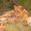 Stock Photo: Lion (pantherleo) family in wild