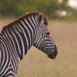 Lonely zebra with a bird — Stock Photo