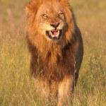 Lion (panthera leo) in savannah — Stock Photo #6941539
