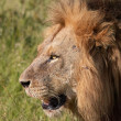 Stock Photo: Lion (pantherleo) close-up