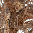 Leopard (Panthera pardus) lying on the tree - Photo