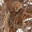 Leopard (Panthera pardus) lying on the tree - Stock Photo