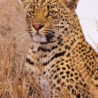 Leopard resting in savannah — Stockfoto #6941816