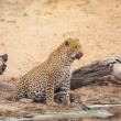 Leopard drinking water — Stock Photo
