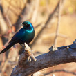 Burchell's Starling - Stock Photo