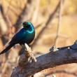 Stock Photo: Burchell's Starling