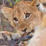 Lion cub (panthera leo) close-up — Stock Photo #6942013