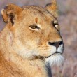 Lion (panthera leo) close-up — Stock Photo