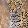 Leopard resting in savannah — Stockfoto #6942328