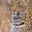 Leopard resting in savannah — ストック写真 #6942328