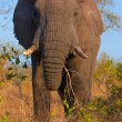 Stock Photo: Large elephant bull