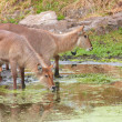 Waterbuck (Kobus ellipsiprymnus) — Stock Photo