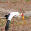 Yellow-billed stork (Mycteria ibis) — Stock Photo