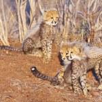 Cheetah (Acinonyx jubatus) cubs — Stock Photo #6942452