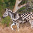 Single zebra (African Equid) — Stock Photo